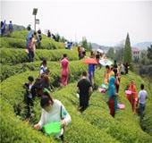 采茶叶 体验农耕生活